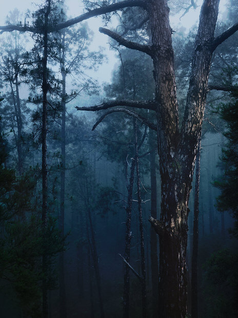 tenerife trees