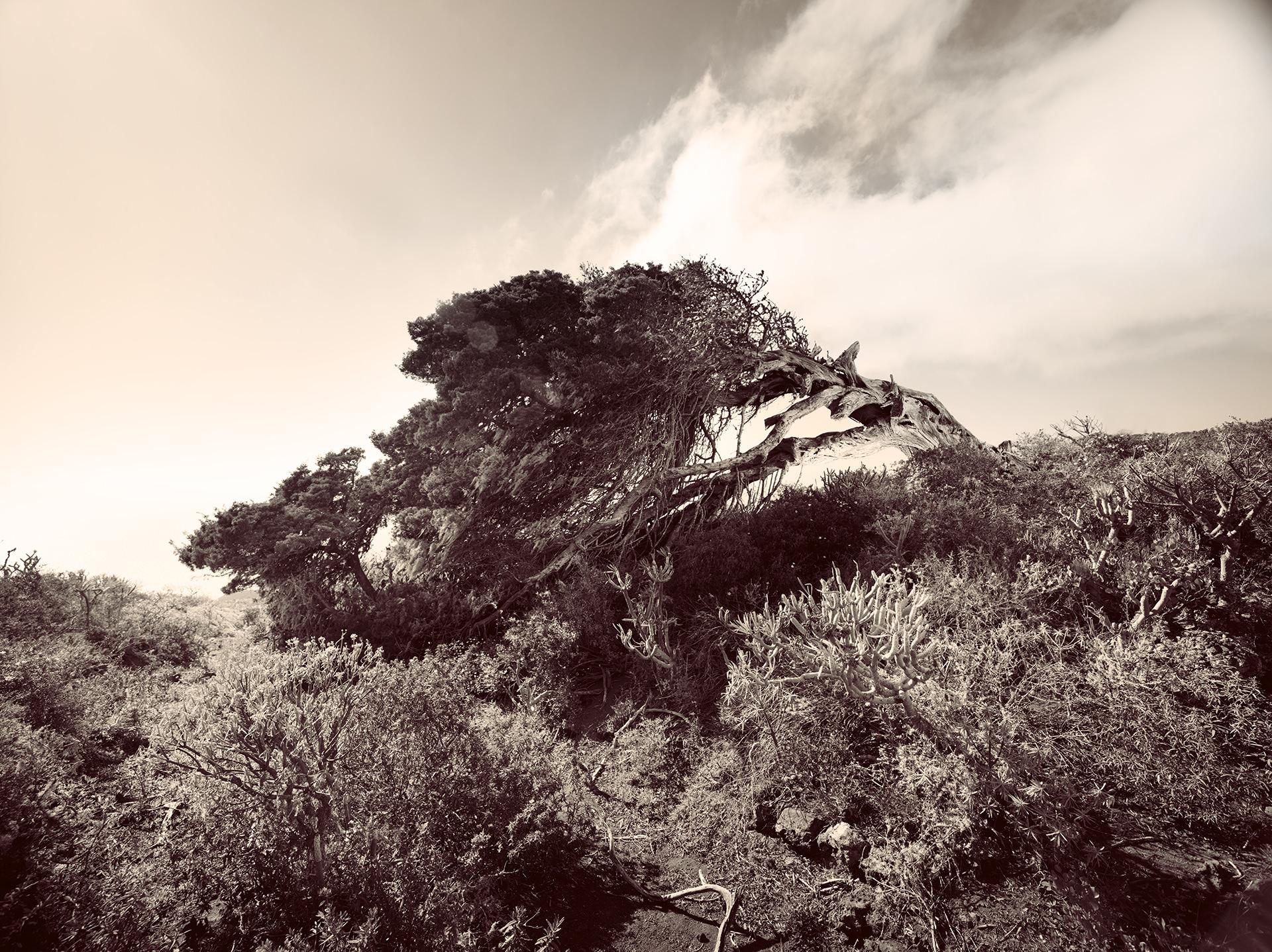 el hierro trees